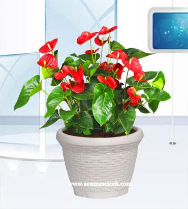 Çiçek siparişi antoryum saksı çiçeği