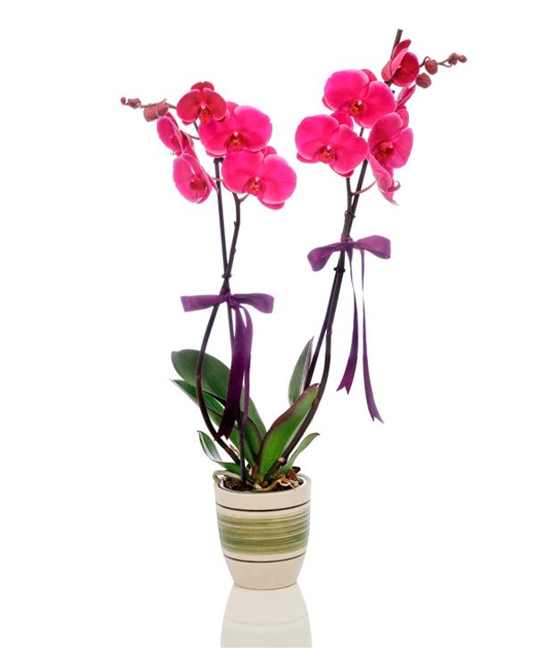 Mor Orkide Çift Dal Harika Tasarým