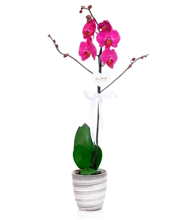 Harika Tasarým Mor Orkide