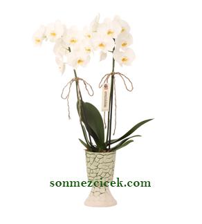 Çift Dal Beyaz Orkide