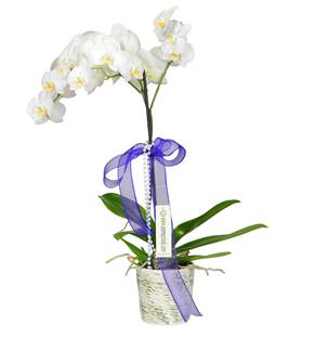 Eskitme Seramikte Tek Dal Beyaz Orkide